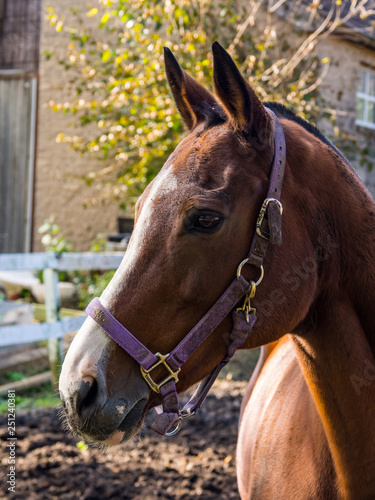 Side Profile of Horse Head with Purple Harness