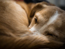 Sleeping Dog, Cute Puppy Curled Up, Close Up