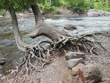 Cedars By River
