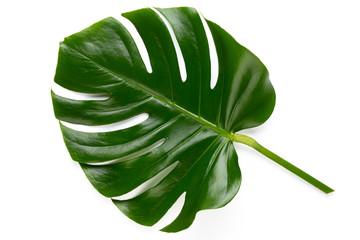 Tropikalna dżungla liść, Monstera, odpoczywa na płaskiej powierzchni, odizolowywającej na białym tle.