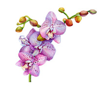Blooming Branch Of Tropical Pink Orchid Flower (aka Moth Orchids, Phalaenopsis)- Botanical Illustration. Hand Drawn Watercolor Painting Isolated On White Background.
