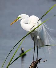Florida's Great White Egret