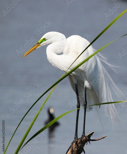 Florida's Great White Egret Canvas Print
