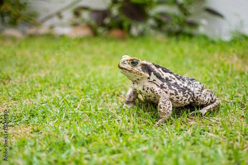 Fotografie, Obraz  Sapo de pele áspera na grama procurando insetos