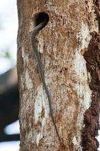 Tail Of Indian Rat Snake Enter...