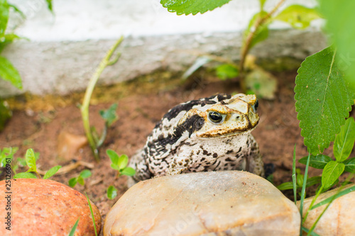 Toad on grass looking for insects - frog Canvas Print