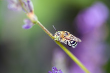A Blue Banded Native Bee Hanging Onto A Stem Of Lavender With Its Mouth, Prior To Rain Hitting