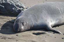 Elephant Seal Sleeping On The Beach
