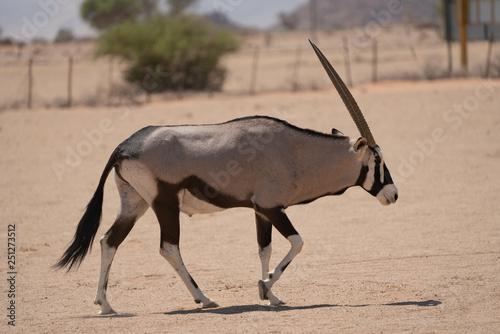 Keuken foto achterwand Antilope gemsbok roaming campsite