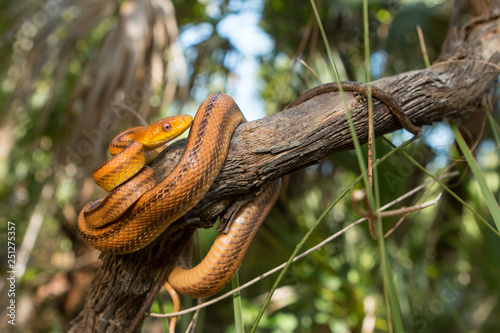 Yellow rat snake - Pantherophis alleghaniensis