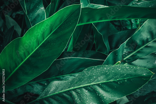 Foto  Large foliage of tropical leaf in dark green with rain water drop texture,  abst
