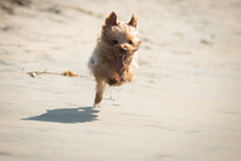Yorkshire Terrier Playing On T...
