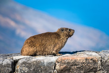 Rock Hyrax Or Procavia Capensis At Table Mountain National Park, South Africa.