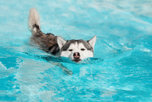 A Angry Mature Siberian Husky Male Dog Is Swimming In A Pool. He Has Grey And White Fur And Brown Eyes. The Water Has An Azure And Blue Color, With Waves And Splashes. It's A Sunny Summer Day.