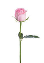 Light Pink Rose Isolated On Wh...