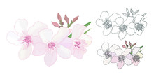Set Of Floral Composition With Branch Of Delicate Pink And Black And White Blooming Flowers, Buds And Leaves Isolated On White Background. Tropical Flowers Oleander, Exotic Nerium. Vector Illustration