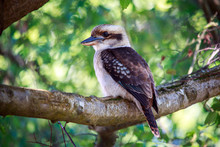 Kookaburra Sitting On A Branch Waiting To Find A Feed