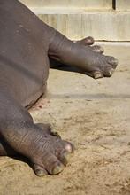 The Legs Of Hippopotamus, Hippopotamus Amphibius, Or Hippo