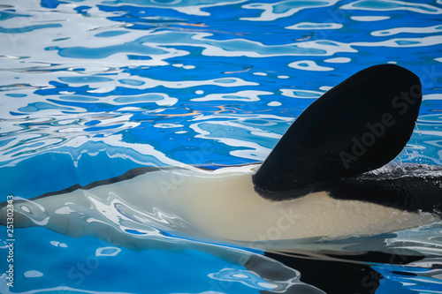 Canvas Prints River, lake Close up of a flipper of an orca