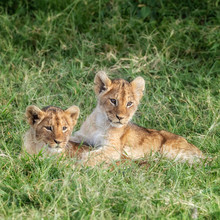 Playful Lion Cubs In The Masai...