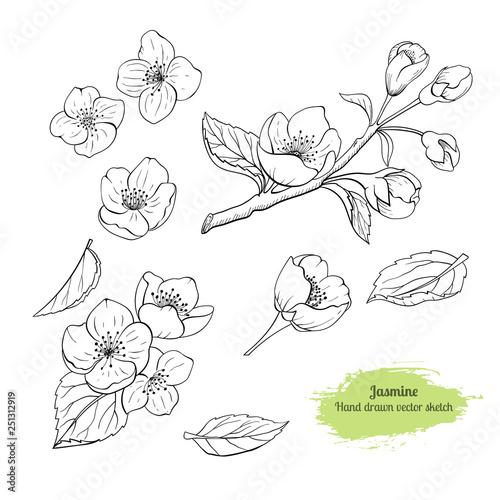 Valokuva Hand drawn set Jasmine flower with leaves