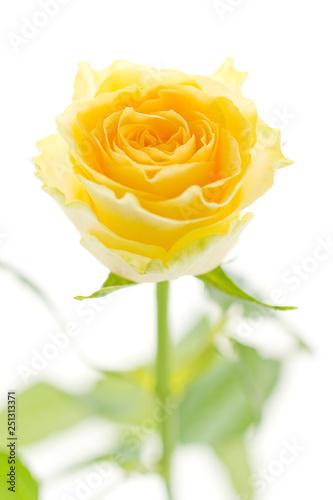 Canvas Print 黄色い薔薇