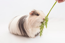 Adorable Guinea Pig Eating Dil...