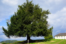Yew Tree, Taxus Baccata