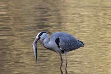 Grey Heron (Ardea Cinerea) With A Fish