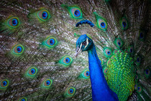 Extreme Closeup Of Peacock Head And Fanned Tail