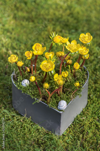 Yellow winter aconite flowers in a heart form pot in the garden Wallpaper Mural