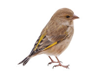 Female European Greenfinch (Ch...
