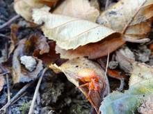 Four-spot Orb-weaver Araneus Quadratus Spider Sits In A Web On A Leaf