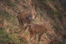 Nice Image Of Guinea Baboons....