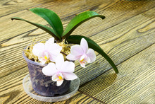 Beautiful Mini Orchid With Pol...