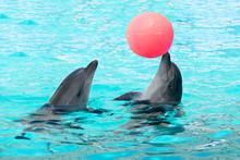 Pair Of Dolphins Play Ball Swi...