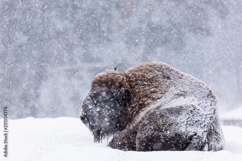 Valokuva  Bison or Aurochs in winter season in there habitat