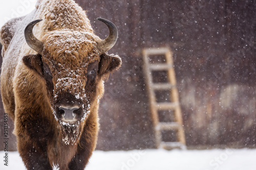 Valokuva  Bison or Aurochs in winter season in there habitat