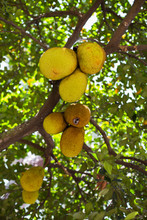 Big Ripe Jack Fruits Hanging On The Jack Fruit Tree, A Healthy Sweet And Juicy Asian Tropical Fruit