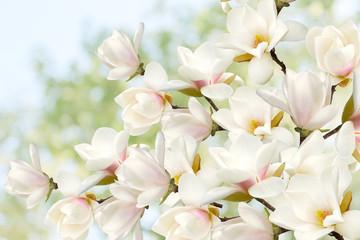 Obraz na SzkleBeautiful magnolia flower blooming bouquet.