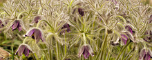 Pasque-flowers Pulsatilla In The Grass, Nature Background