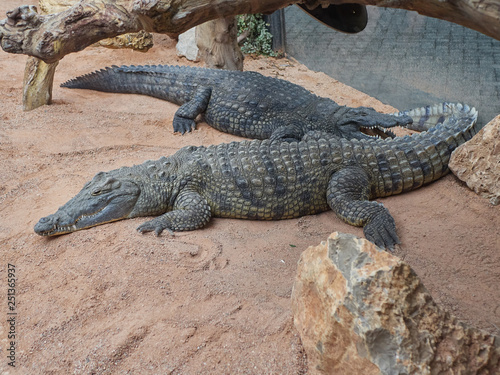 Deurstickers Krokodil Crocodiles resting during sunny day