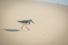 Beach Wanderer