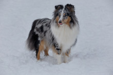 Cute Blue Merle Shetland Sheepdog Puppy With Lolling Tongue Is Standing On A White Snow. Shetland Collie Or Sheltie.