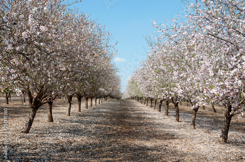 Slika na platnu Almonds Orchard, white flowers