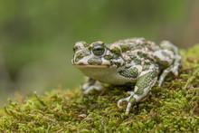 Green Toad Bufotes Viridis, Also Pseudepidalea Or Bufo In Czech Republic