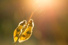 Beautiful Owlfly Libelloides M...
