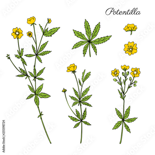 Fotografija Cinquefoil flower, potentilla erecta, bloodroot vector hand drawn colorful illus