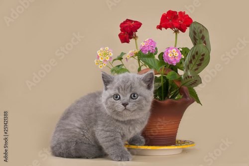 Poster Jaune british kitten on the background of a pot with flowers
