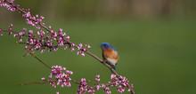 Male Eastern Bluebird Perched ...